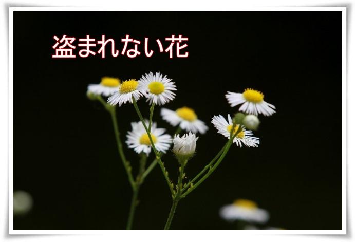 hasu00800.jpg
