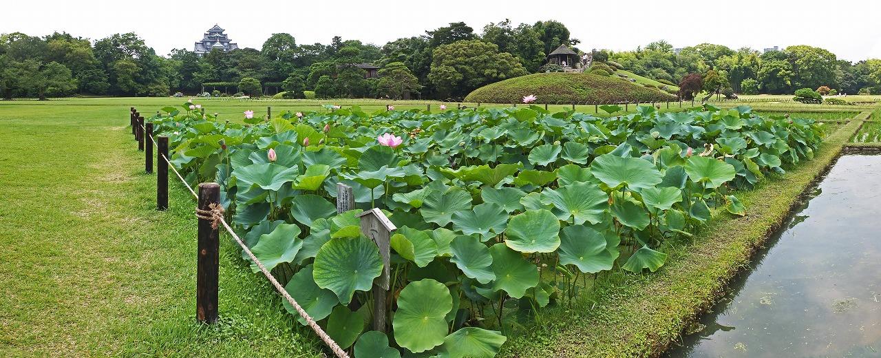 s-20150703 後楽園今日の井田の大賀蓮の様子ワイド風景 (1)