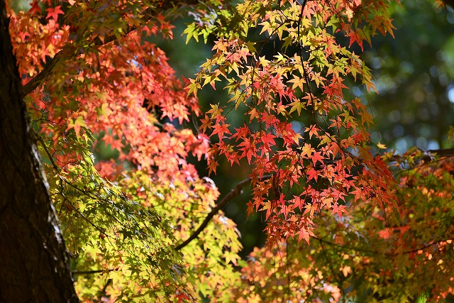 後楽園の紅葉8