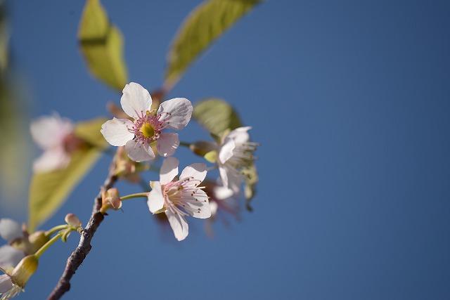 ヒマラヤ桜1