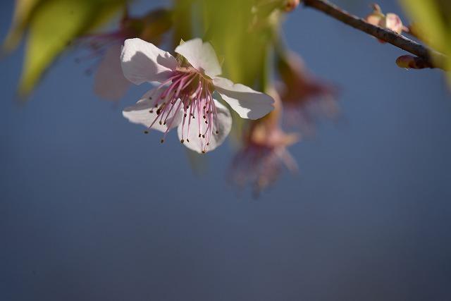 ヒマラヤ桜4
