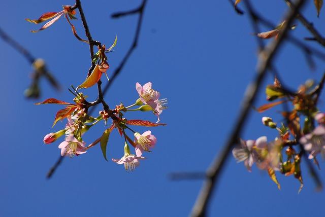 ヒマラヤ桜Ⅾ-200 (15)