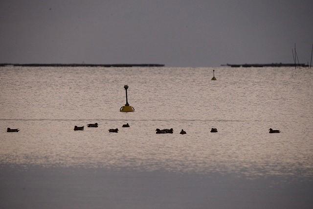 日の出前に遊ぶ鴨たち