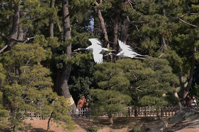 丹頂の飛翔8