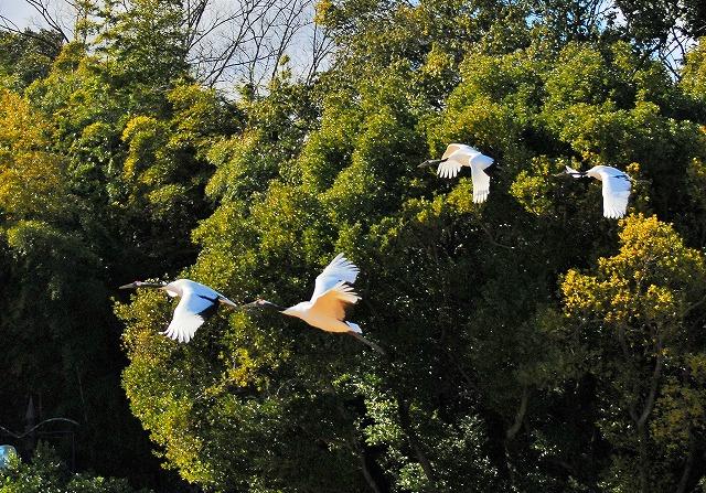 丹頂4羽の飛翔1