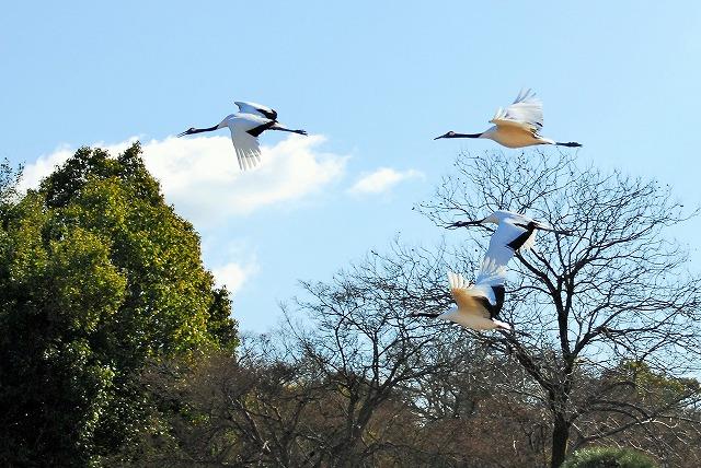 丹頂4羽の飛翔3
