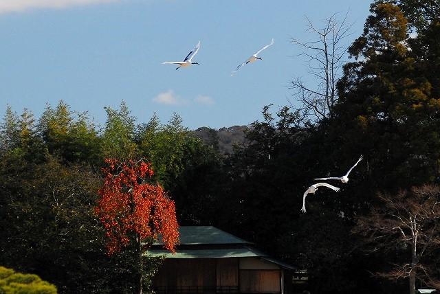 丹頂4羽の飛翔14