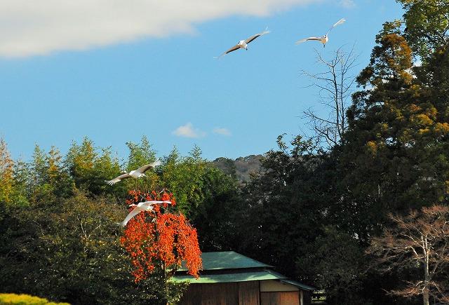 丹頂4羽の飛翔15