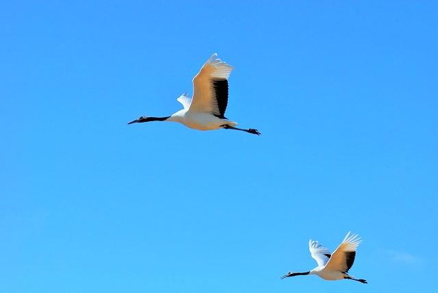 丹頂4羽の飛翔19