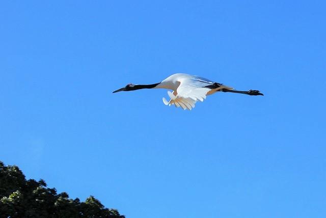 丹頂4羽の飛翔20