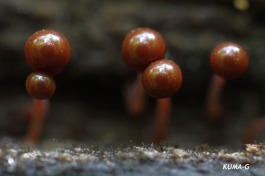 ホソエノヌカホコリ Hemitrichia clavata var. calyculata