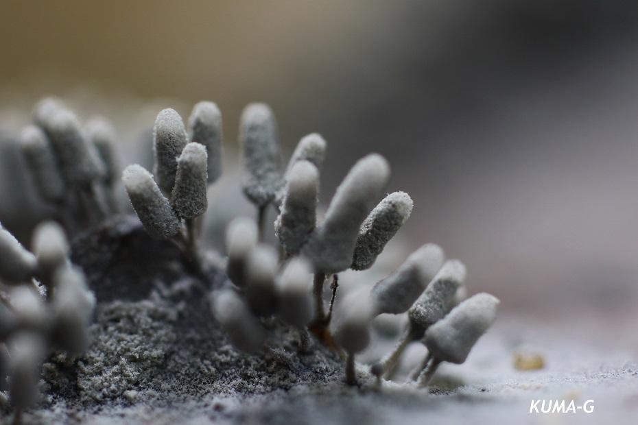 シロウツボホコリ Arcyria ctnerea