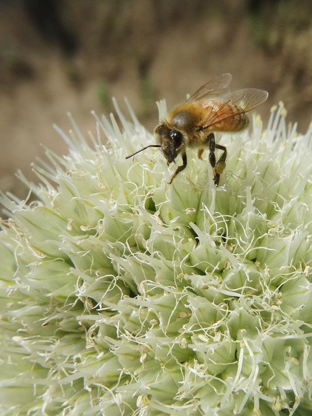 ねぎ坊主と蜂2