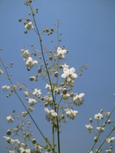 シキンカラマツ(白)
