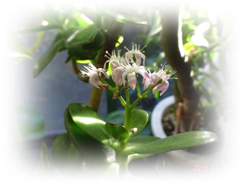 DSC01052金のなる木の花