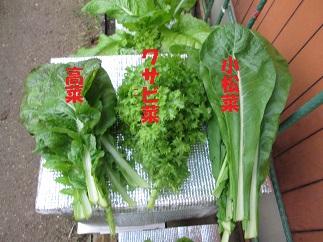 葉物野菜②