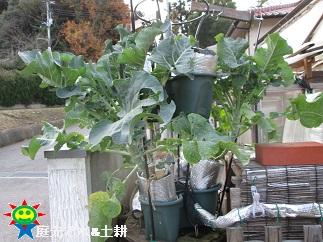 ブロッコリー1・4茎