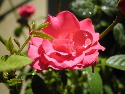 2015のバラ