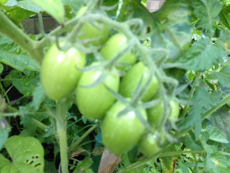 トマト0676 wb