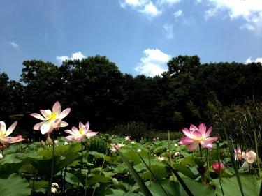 王陵公園にて蓮の花を見る事が出来ました^^