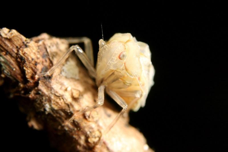 ウンカの幼虫 (1)bv
