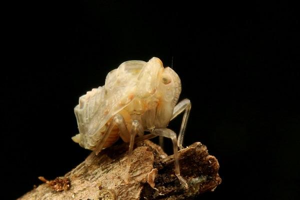 ウンカの幼虫 (2)bv