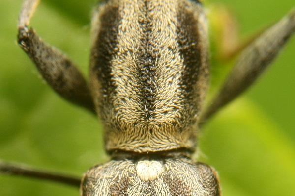 カンボウトラカミキリ (6)bv