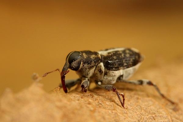 ヒラセクモゾウムシ species (1)bv