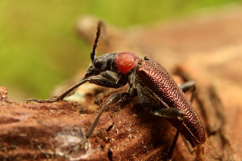 クビアカハナカミキリ (1)bv