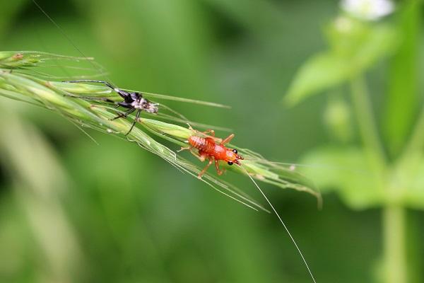 ササキリ幼虫 (2)bv