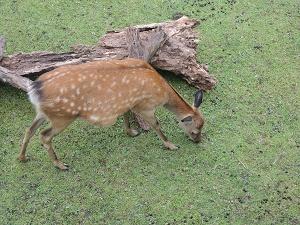鹿苑 母鹿