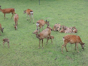 鹿苑 子鹿