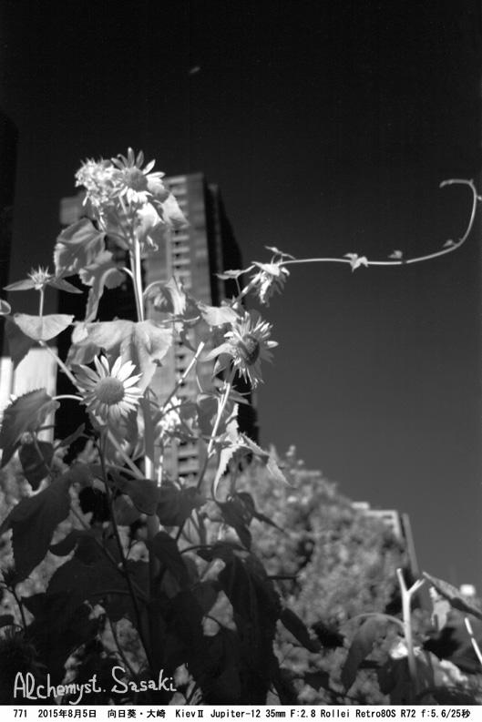 夏の向日葵771-25