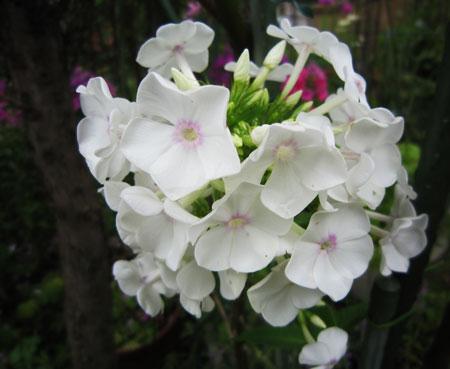 毀れ種から開花