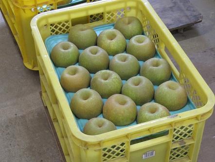 梨の出荷開始