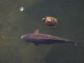 コイとミシシッピアカミミガメ