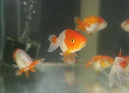 金魚0706-1