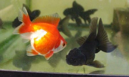 金魚0706-2