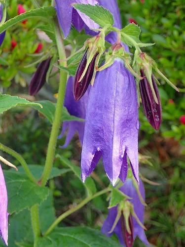 Mさんちの青花ホタルブクロ20150602