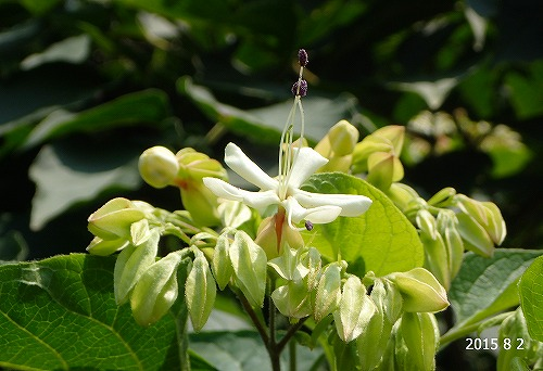 s-樹木の花20150802