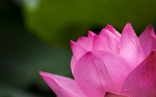 lotus-614494_640.jpg