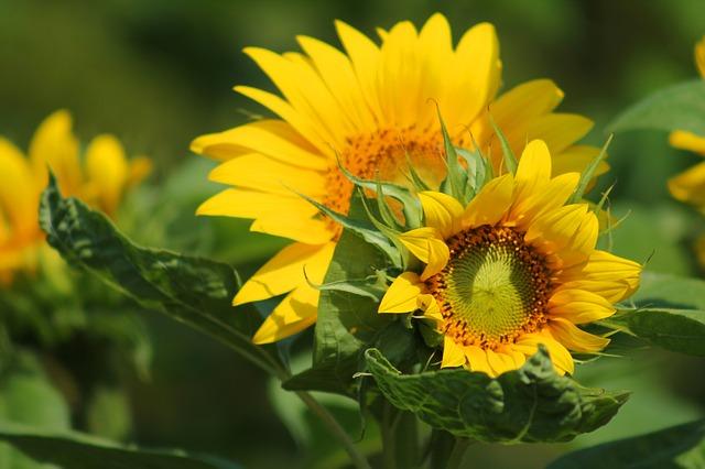 sunflower-547318_640.jpg