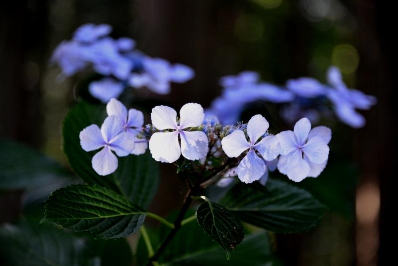まだ紫陽花-1