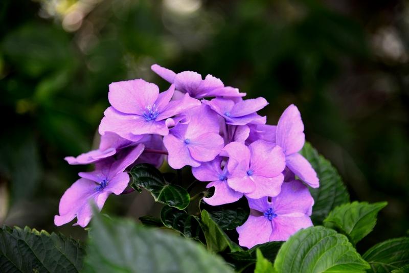 まだ紫陽花-3
