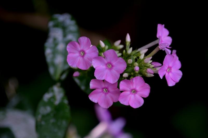 まだ紫陽花-4