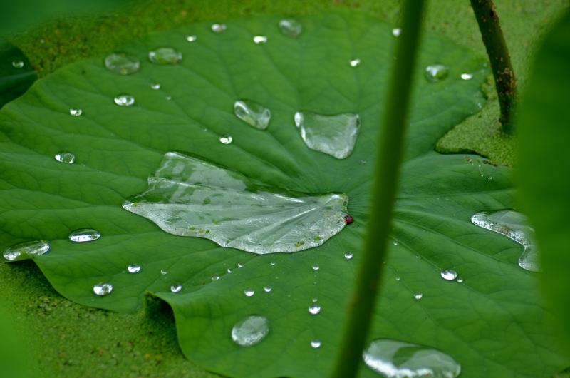 雨のレンコン畑-2
