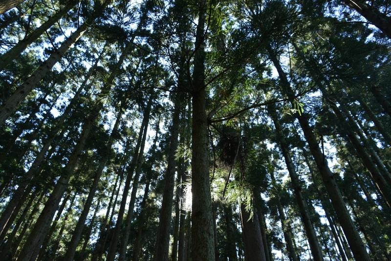 杉林の光-1