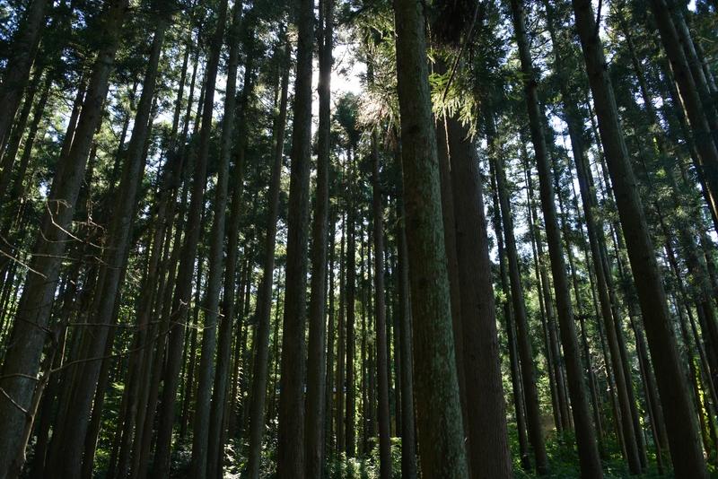 杉林の光-2