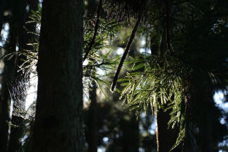 杉林の光-3