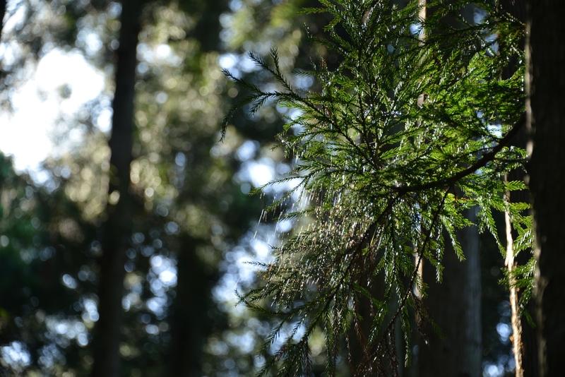 杉林の光-4